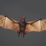C4D模型-蝙蝠C4D模型含材质绑定动作飞行动物创意场景3D模型素材